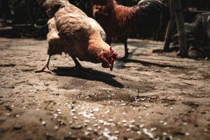 Organic or Non-Organic chicken feed