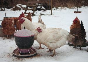 How Much To Feed Chickens In Winter