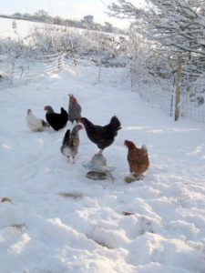 How To Winterize Chicken Coo[