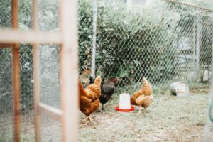 Chicken Coops Reviews