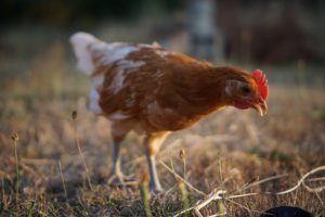 Best Breeds of Chickens