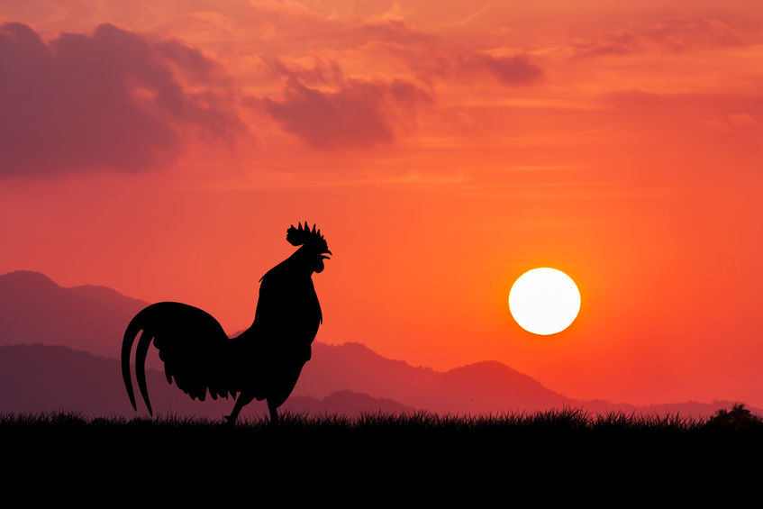 protective rooster breeds