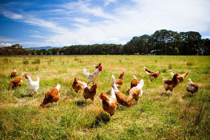 How To Treat Roundworms In Chickens