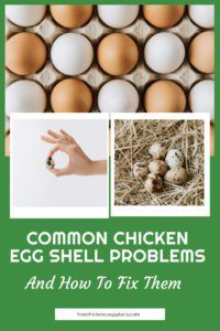 chicken egg shell problems