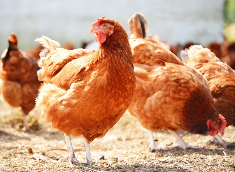 clever chicken names