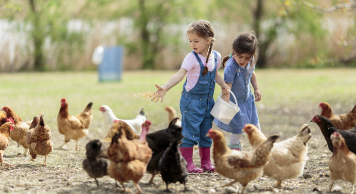 top 15 chicken breeds as pets