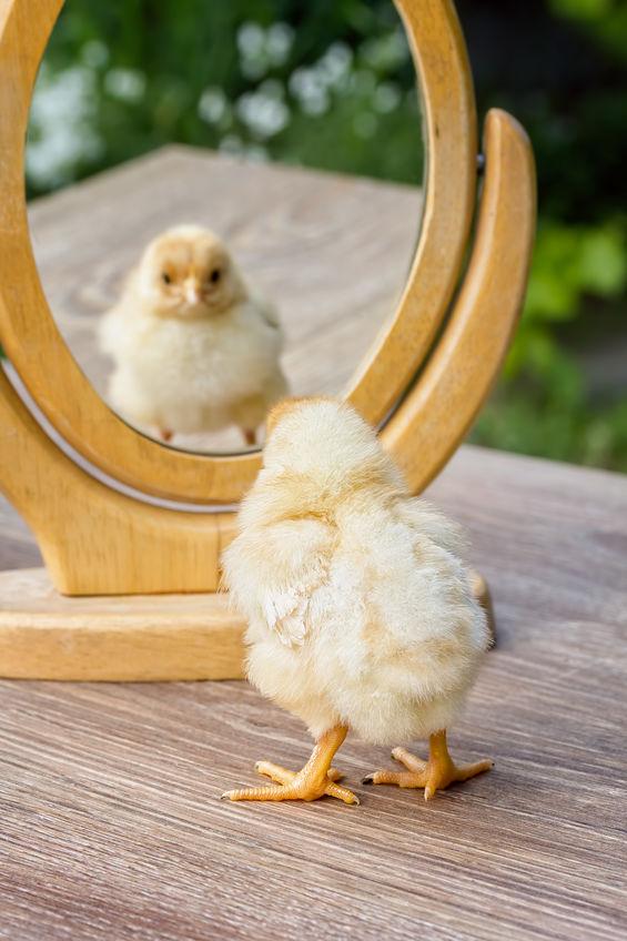DIY chicken toys