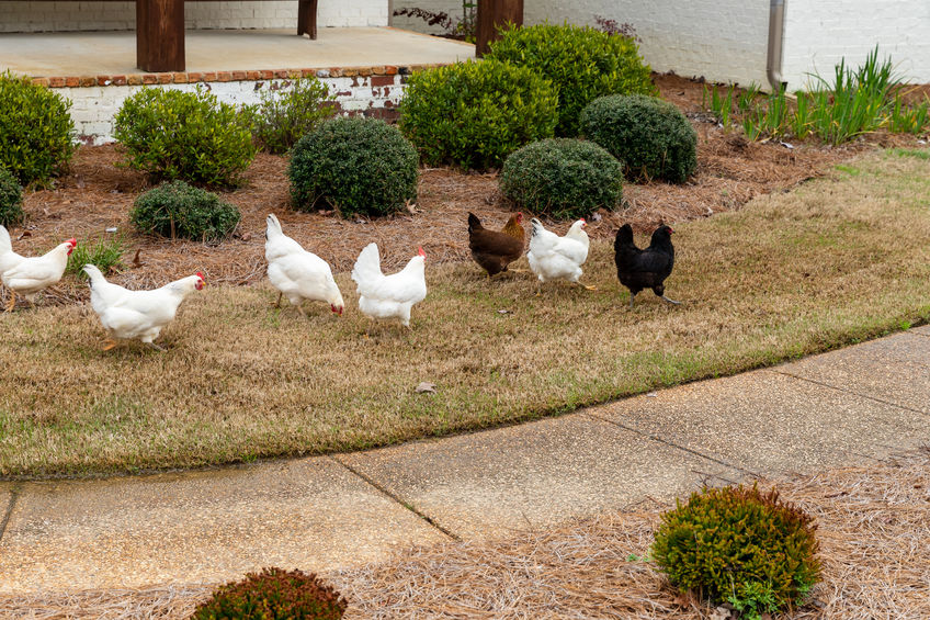 keep chicken out of yard