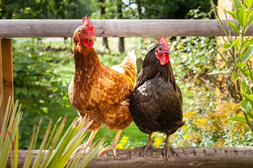 Pros and cons of raising chickens