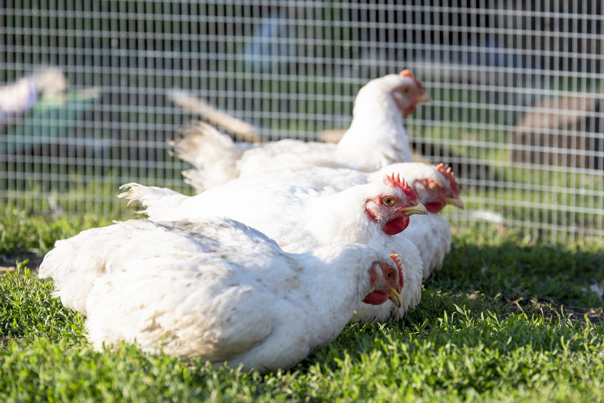 Pros and Cons of Raising Pastured Poultry