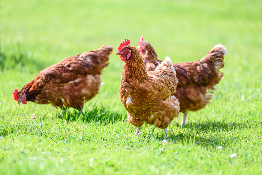 how to get rid of old hens