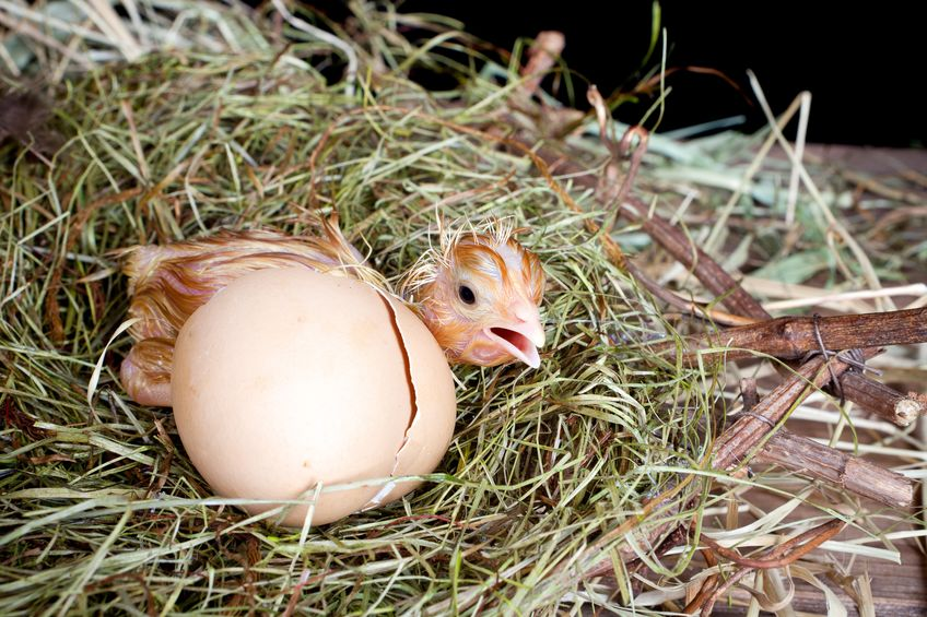 rhode island red egg production