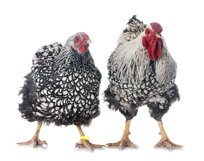 best chicken breed for meat