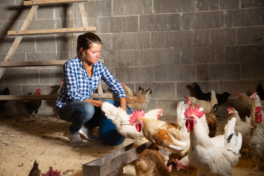 How to socialize chickens