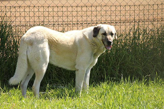 dogs that protect livestock